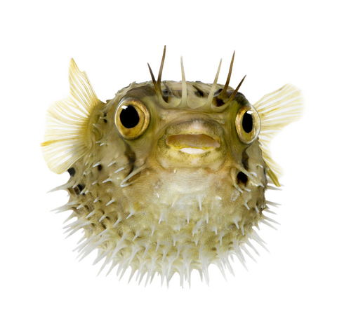 Big is pufferfish bad for you