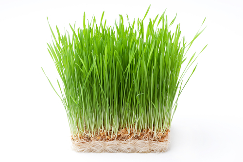 Big is wheat grass bad for you.
