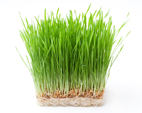 Thumb is wheat grass bad for you.