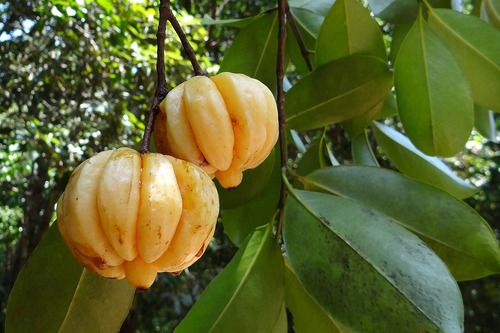 Big is garcinia cambogia bad for you