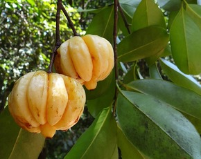 Thumb is garcinia cambogia bad for you
