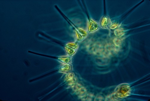 Big is marine phytoplankton bad for you