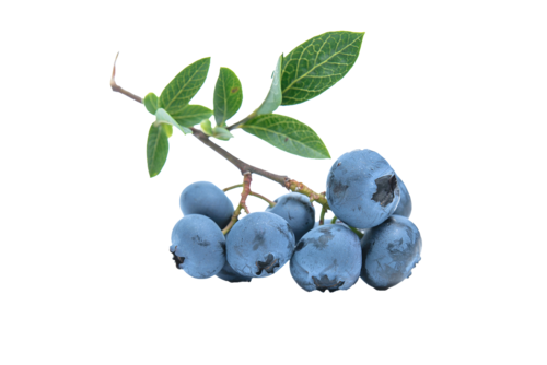 Big are blueberries bad for you