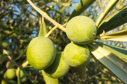 Big is olive oil bad for you 2