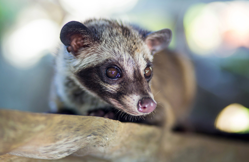 Big is civet coffee bad for you 2