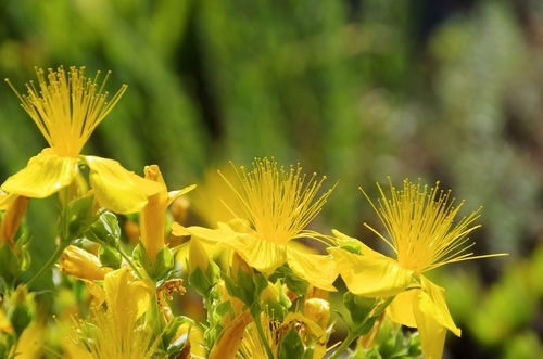 Big is st johns wort bad for you 2